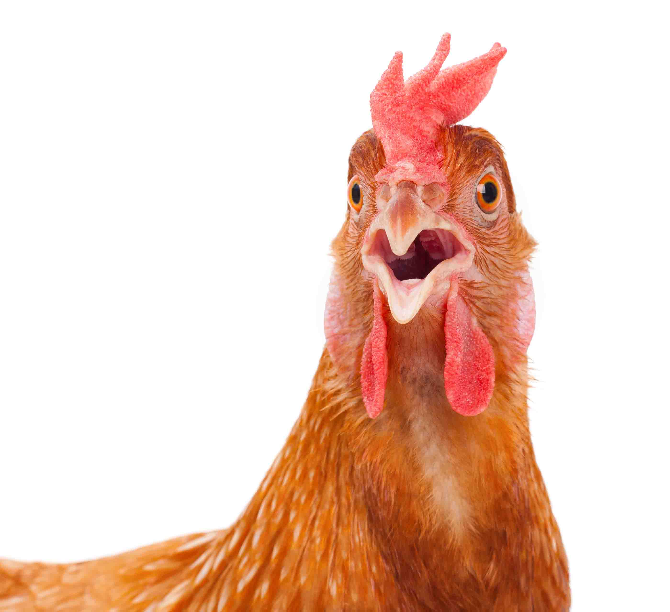 surprised-chicken